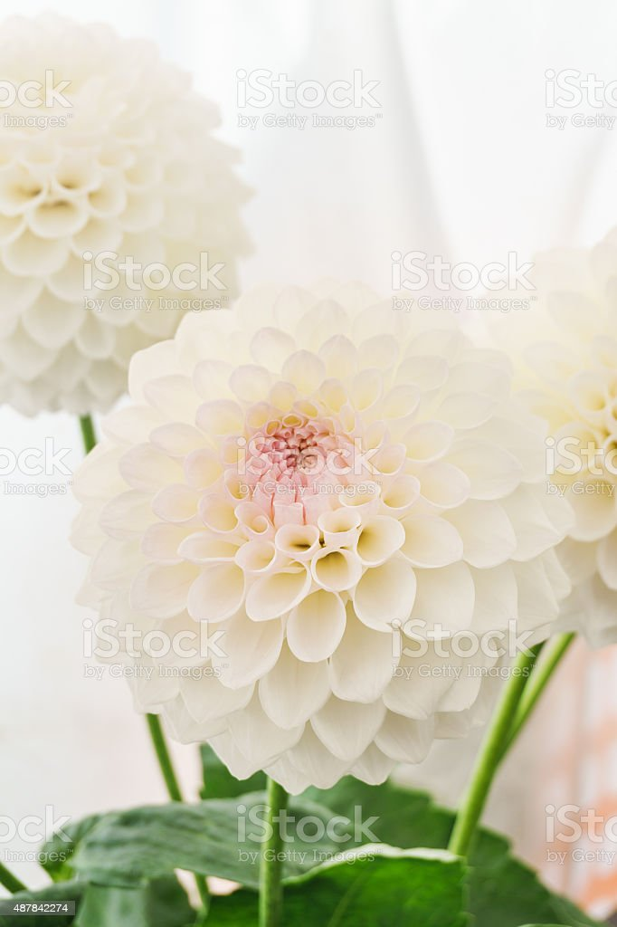 White Dahlias stock photo