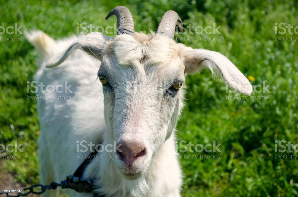 White dairy breed goat on green grass background. Farm concept. zbiór zdjęć royalty-free