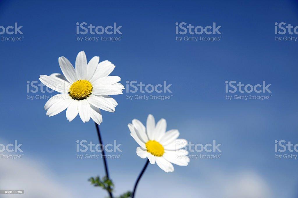 White daises royalty-free stock photo