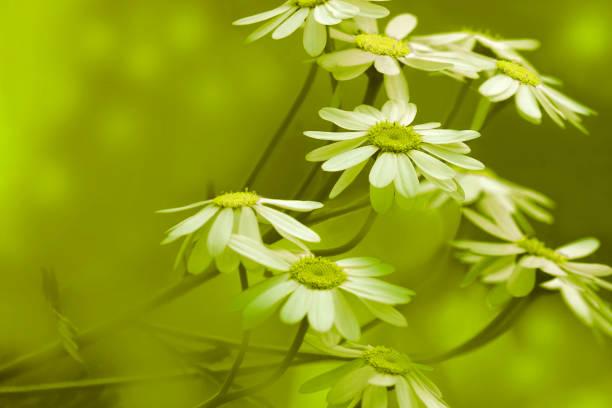 weiße margeriten blühen an einem sonnigen sommertag.  schöne gelb-grün floral hintergrund aus blüten der kamille. close-up. natur. - blumendrucktapete stock-fotos und bilder