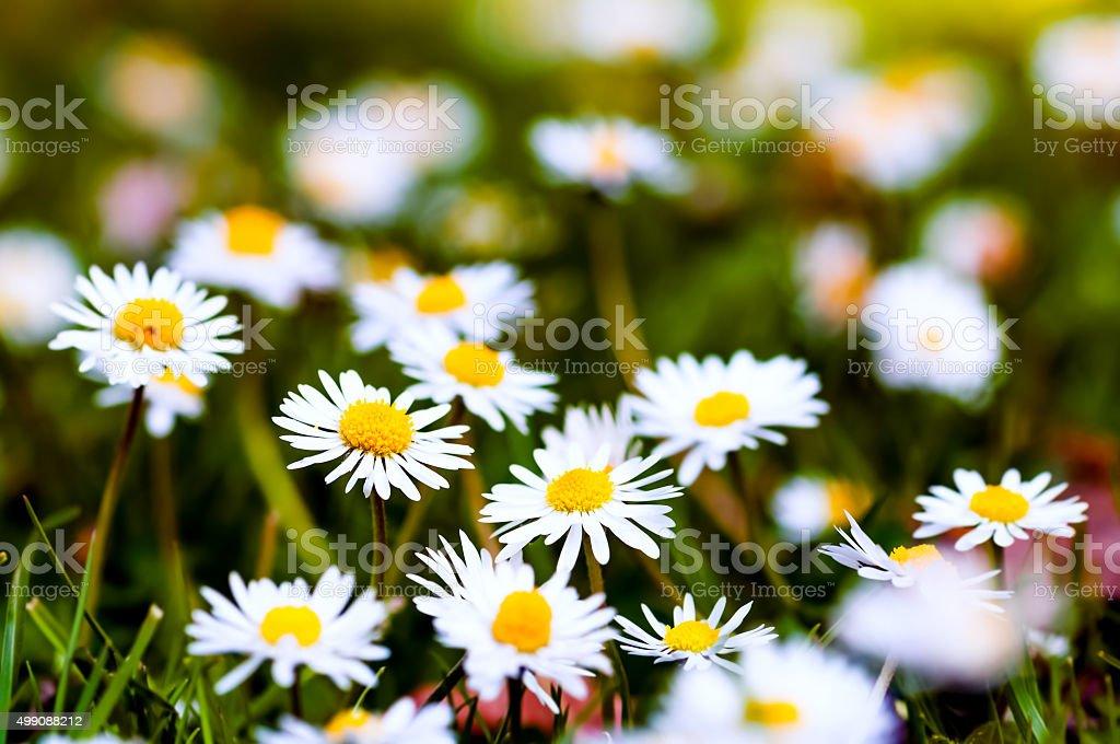 White daisies closeup group springtime wildflowers stock photo