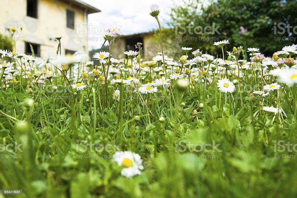 White daisies field royalty-free stock photo
