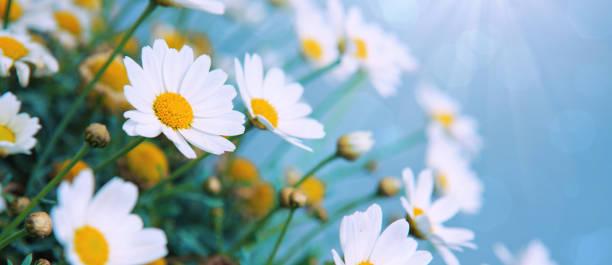 白色雛菊花在明亮的陽光下 - 雛菊 菊科 個照片及圖片檔