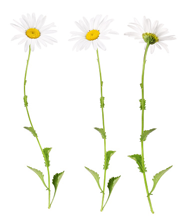 Three different views of a marguerite, isolated.