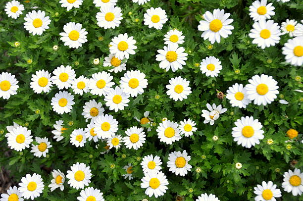 White Daisies in a Garden stock photo