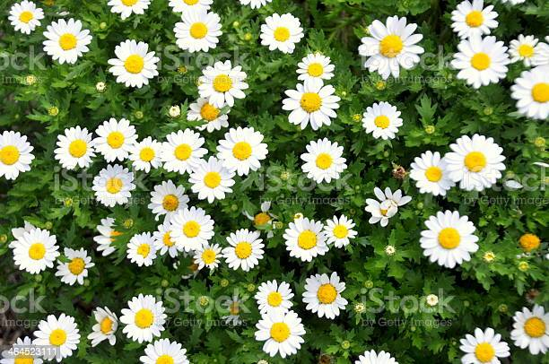 Photo of White Daisies in a Garden