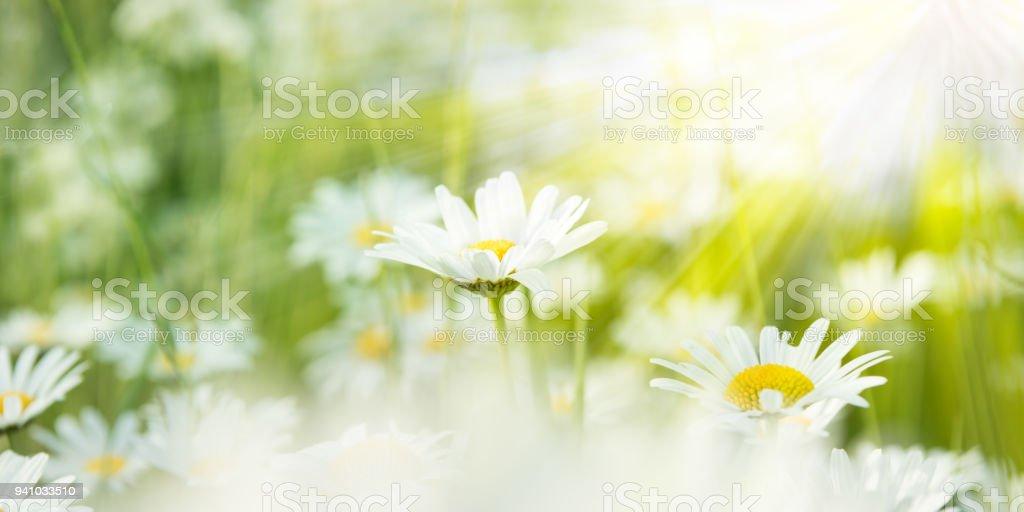 weiße Margeriten auf einer Wiese von Sonnenlicht beleuchtet – Foto