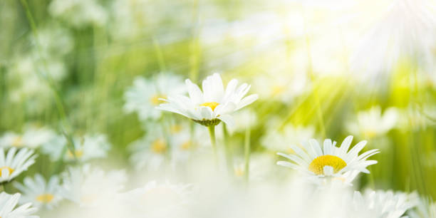 vita prästkragar på en äng som är belysta med solljus - summer field bildbanksfoton och bilder