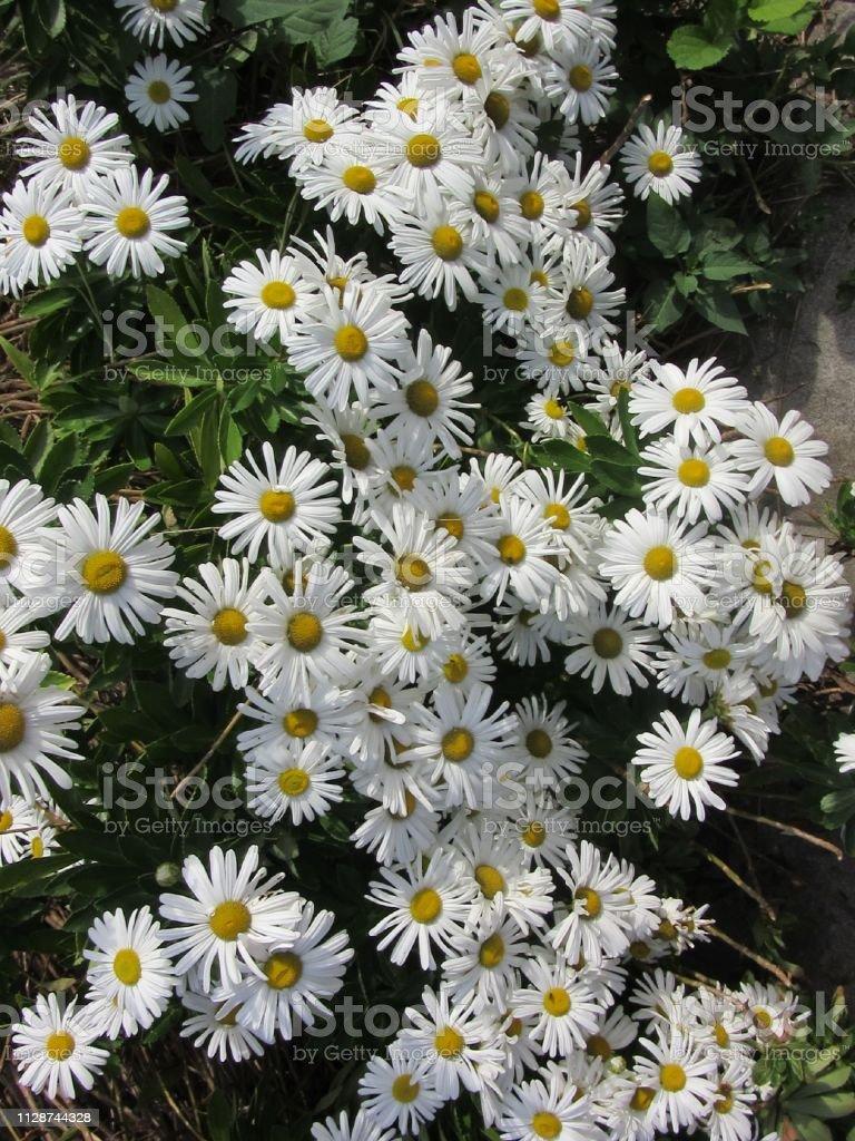 White daisies in full bloom stock photo