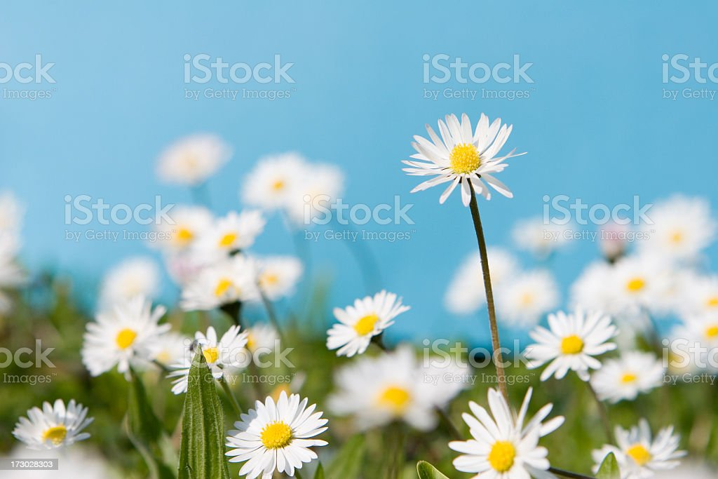White daisies in green grass against a blue sky stock photo