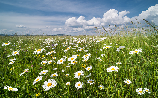 Idyllic view on beautiful marguerites in green grass. Wild flowers in romantic rural landscape. Blue sky and clouds. Argyranthemum, dill daisy