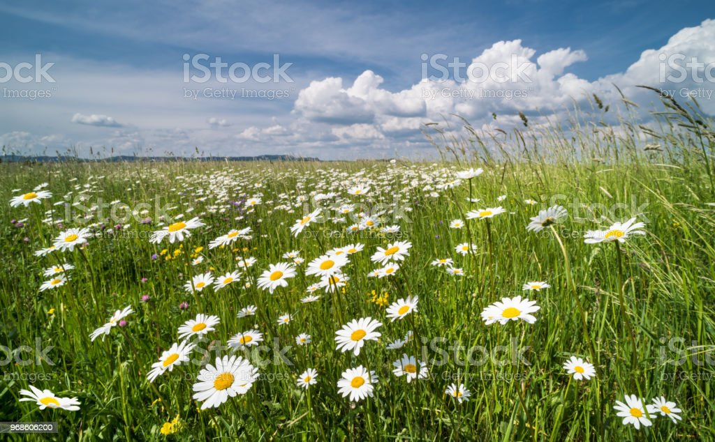 White daisies in spring meadow. Ox-eye daisy. Leucanthemum vulgare stock photo