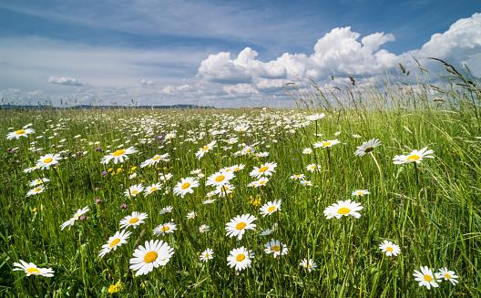 White Daisies In Spring Meadow Oxeye Daisy Leucanthemum Vulgare - Fotografie stock e altre immagini di Allegro