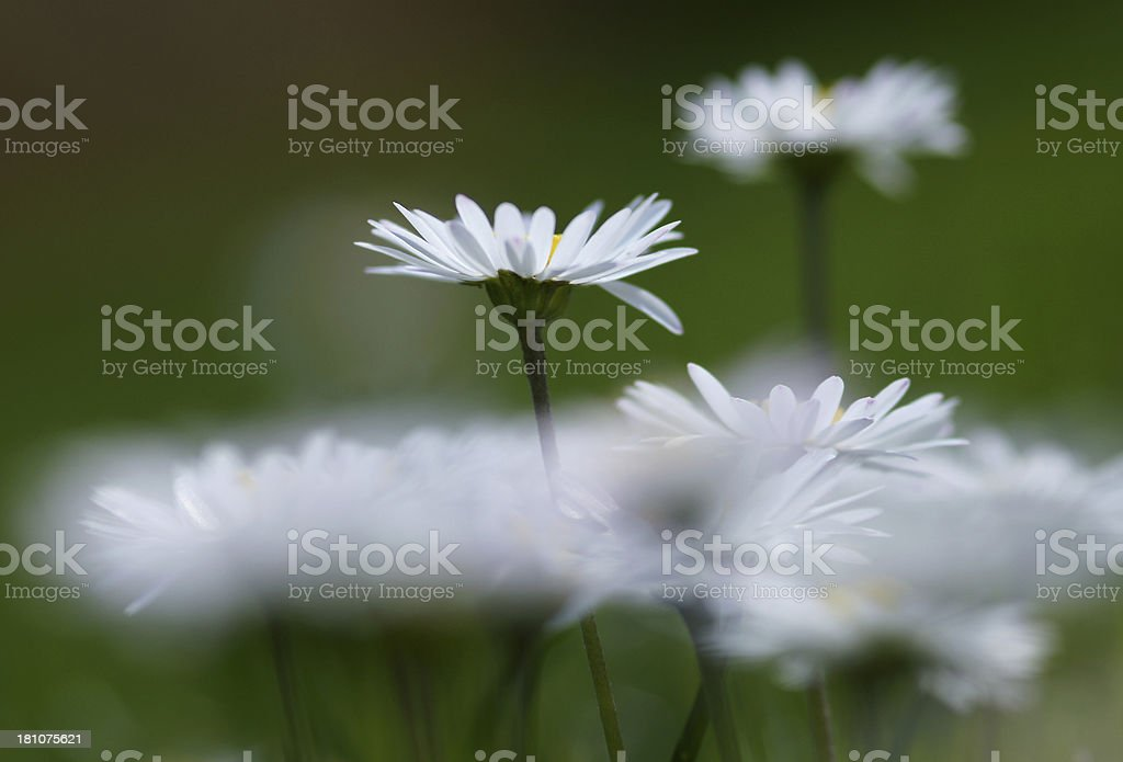 White daisies in the counter-light royalty-free stock photo