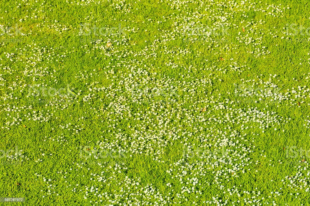 White daisies on a green lawn in spring royalty-free stock photo