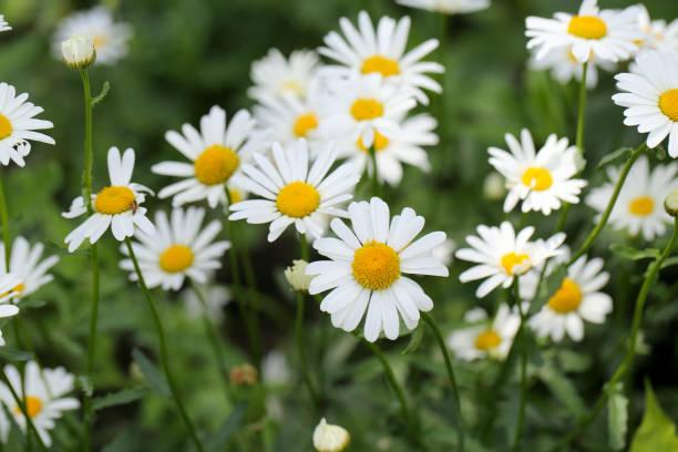 white daisies outdoors stock photo