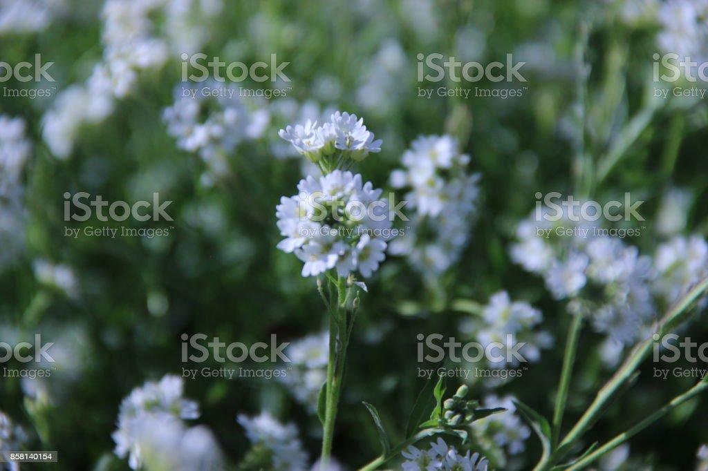 White daisies. stock photo
