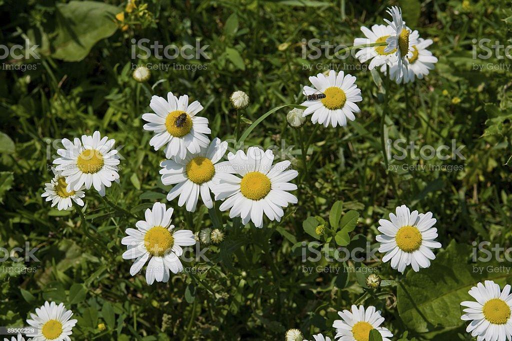 White Daisies royalty free stockfoto