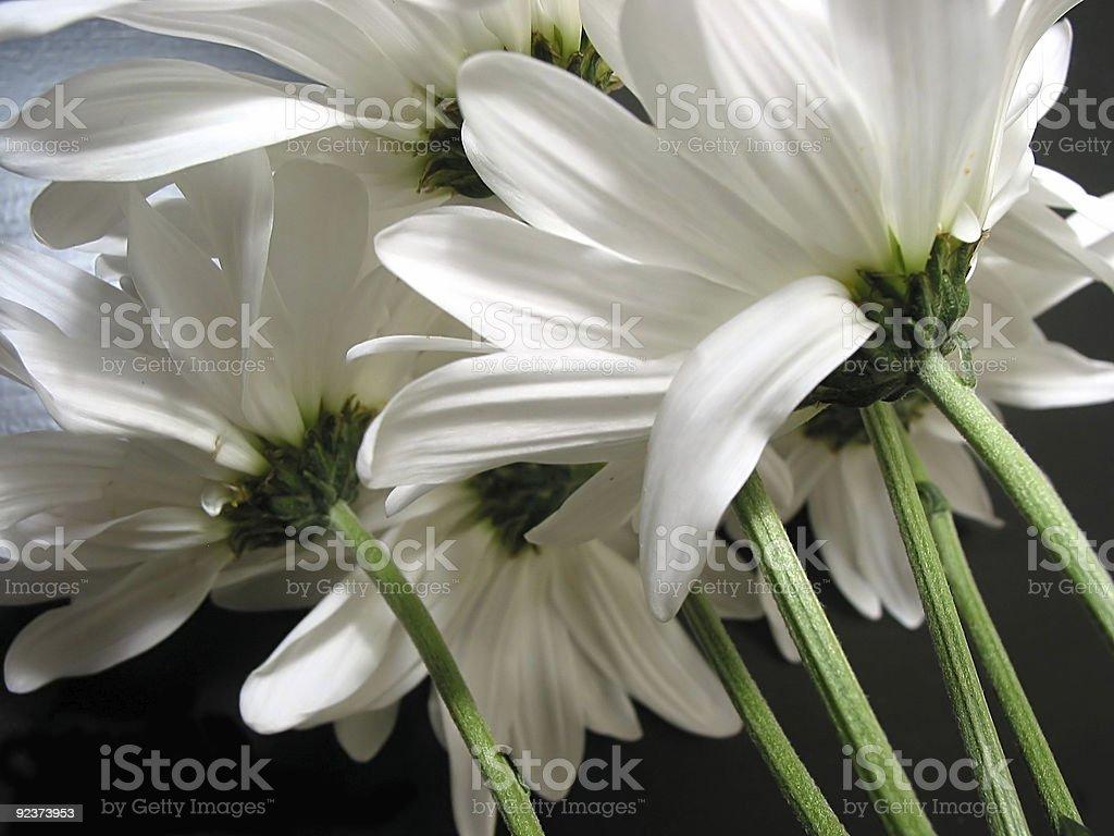 White Gänseblümchen Lizenzfreies stock-foto