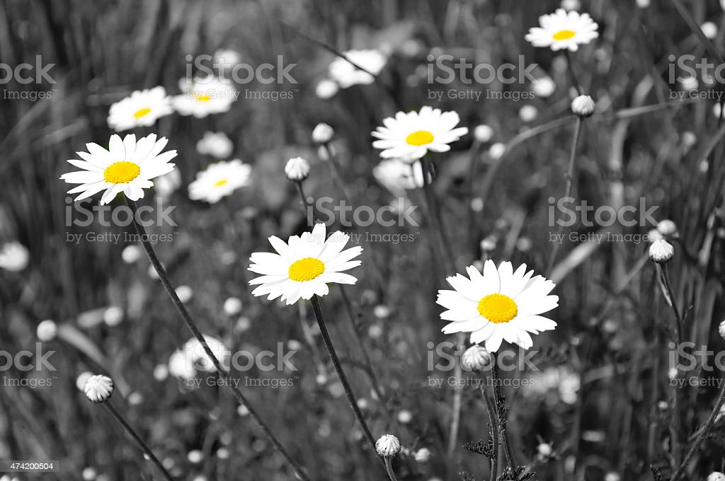 White daisies, selective desaturation stock photo