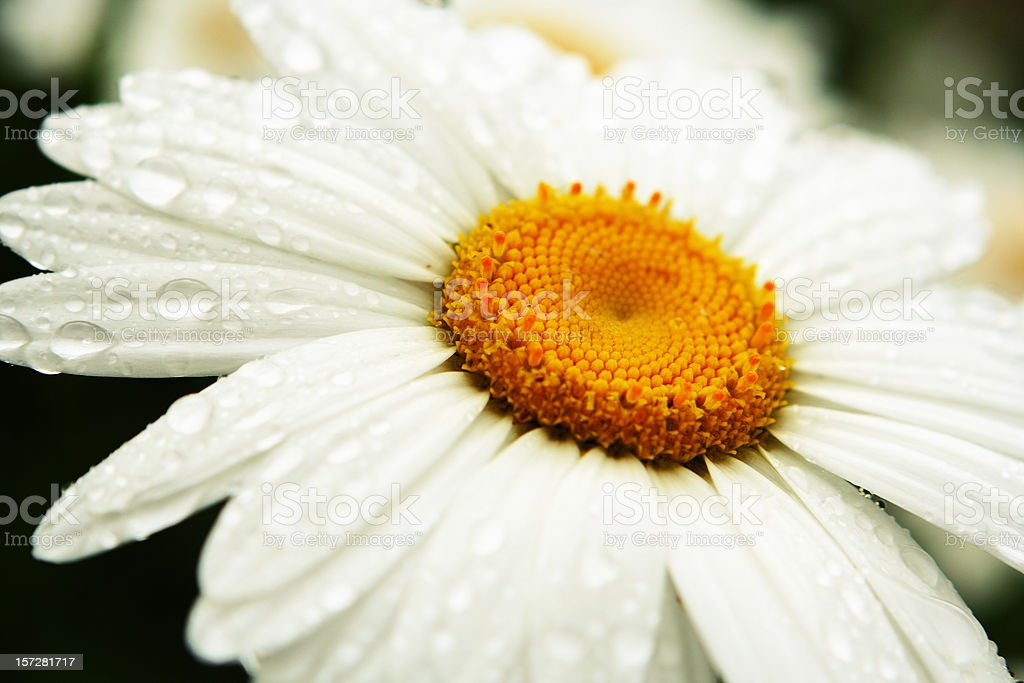 White Daisy After Rainfall royalty-free stock photo