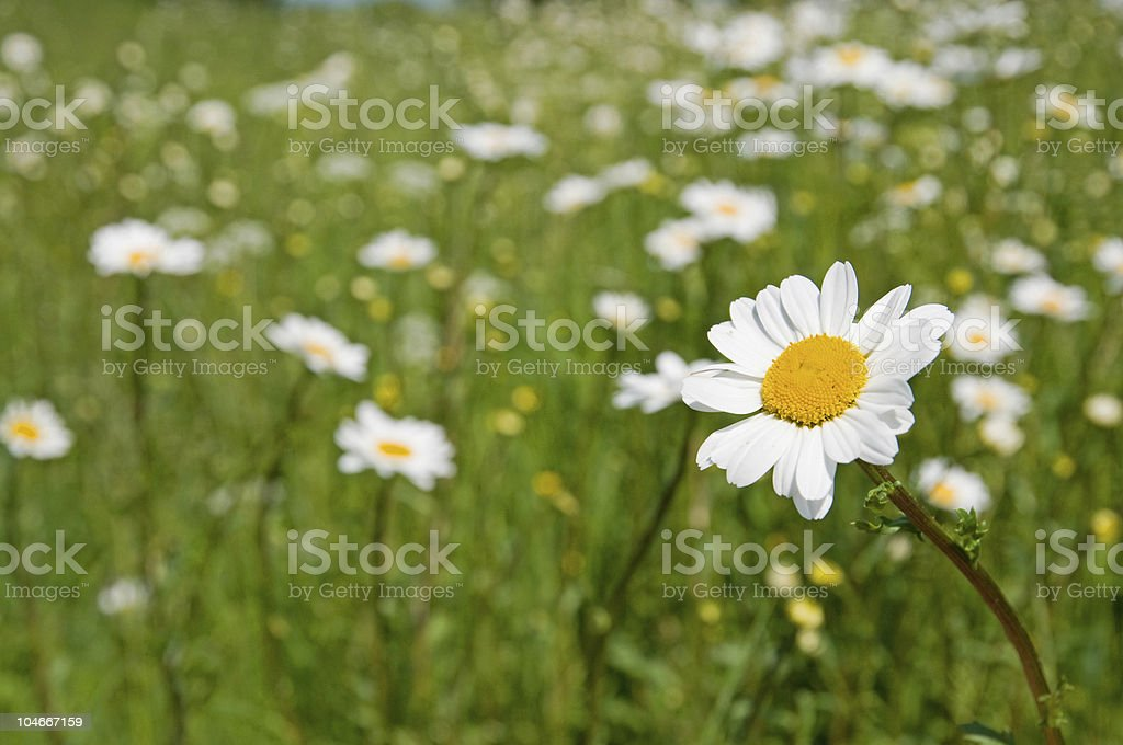 White Daisy Against Green Grass royalty-free stock photo