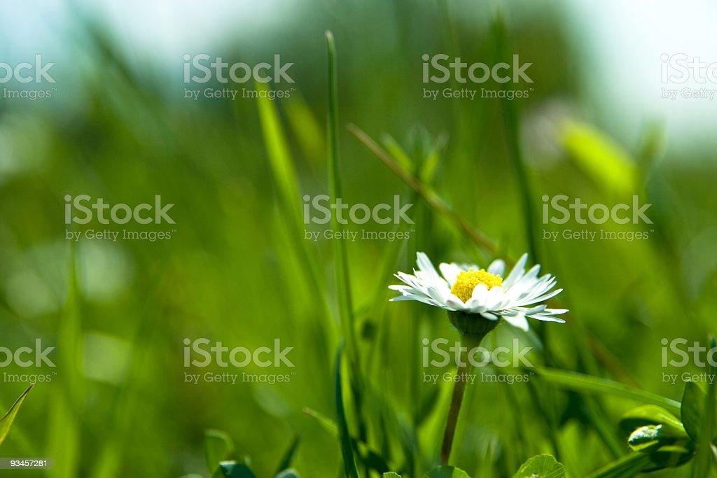 White Daisy Against Vivid Green Grass royalty-free stock photo