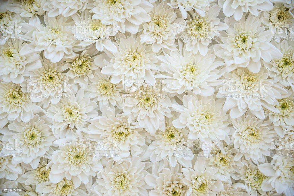 white daisy as background or texture outdoor photo libre de droits
