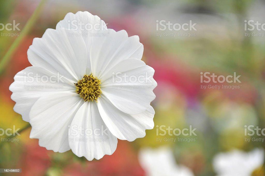 White Daisy / Chrysanthemum / Cosmos Flower royalty-free stock photo