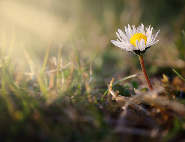 White daisy flower in sunset light stock photo