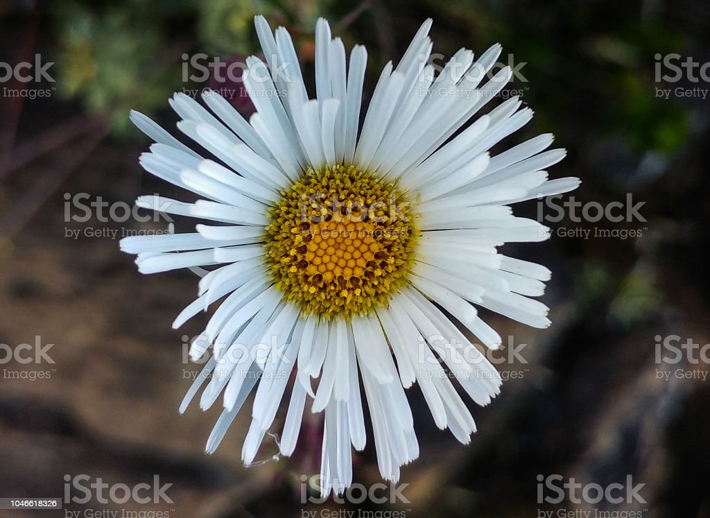White daisy flower stock photo