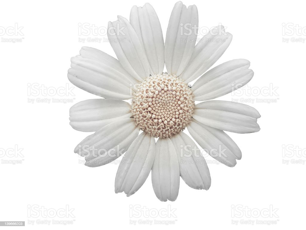 white daisy flower royalty-free stock photo