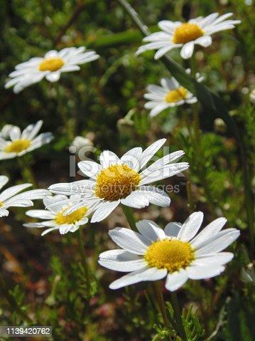 White daisy flower. Spring