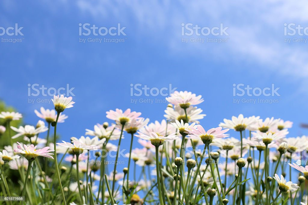White daisy flowers in sunshine light with blue sky background. photo libre de droits