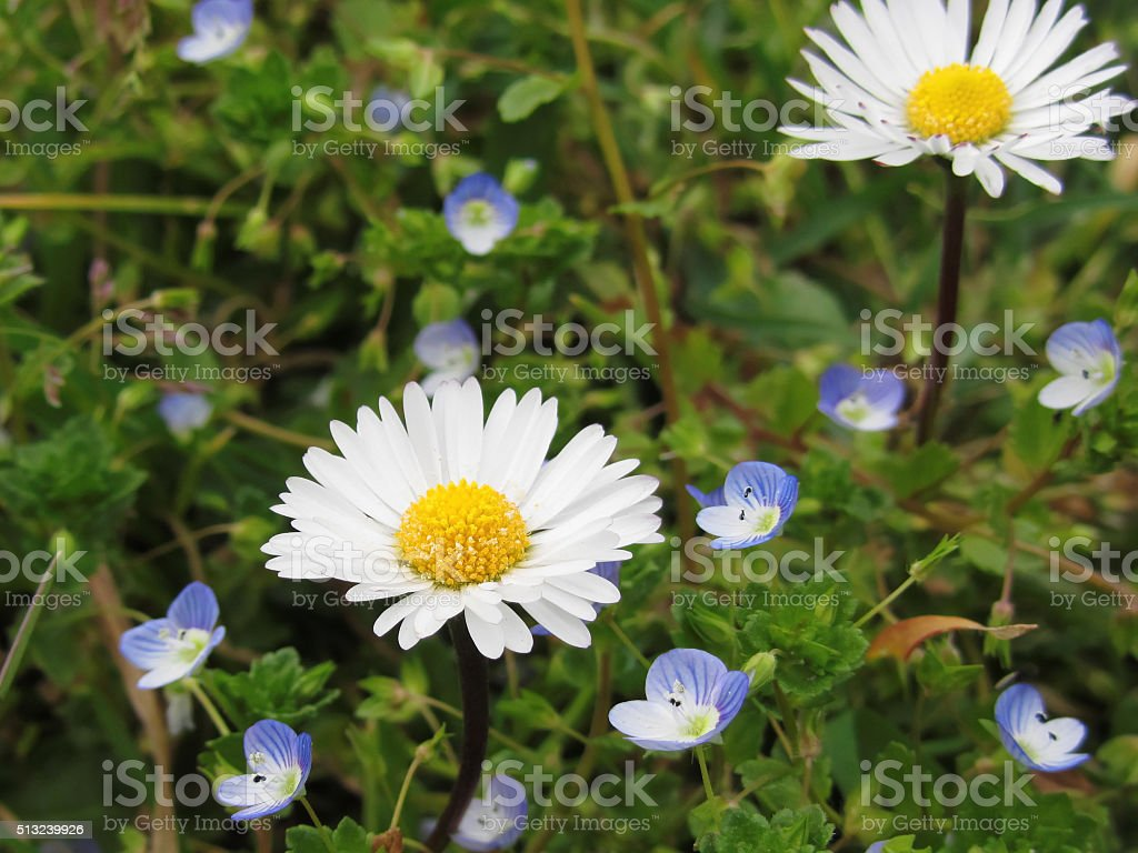 White daisy flowers on green background tuscany italy stock photo white daisy flowers on green background tuscany italy royalty free stock photo izmirmasajfo