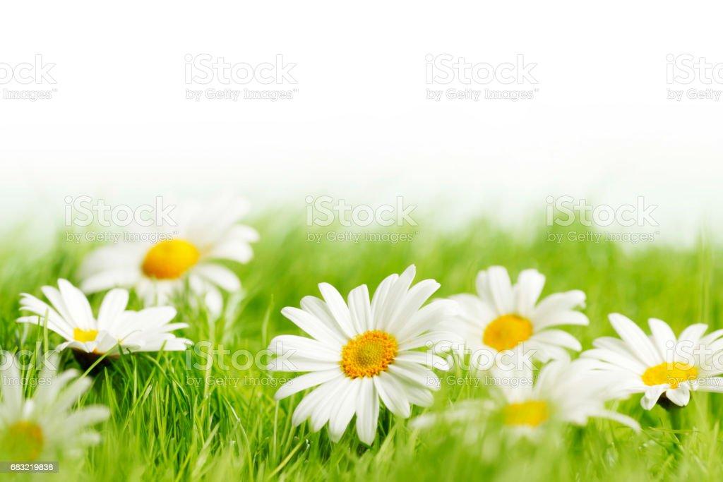 白色的雛菊花 免版稅 stock photo