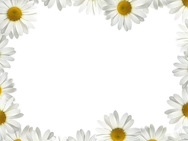 white daisy frame - foderblad bildbanksfoton och bilder