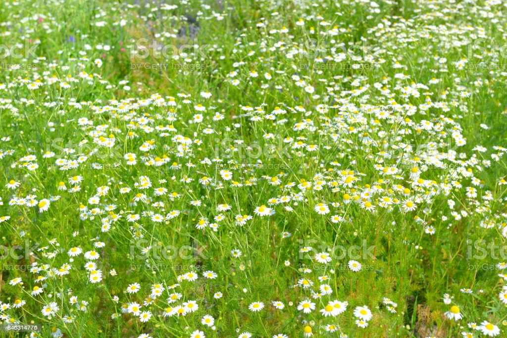 White daisy in spring meadow. stock photo
