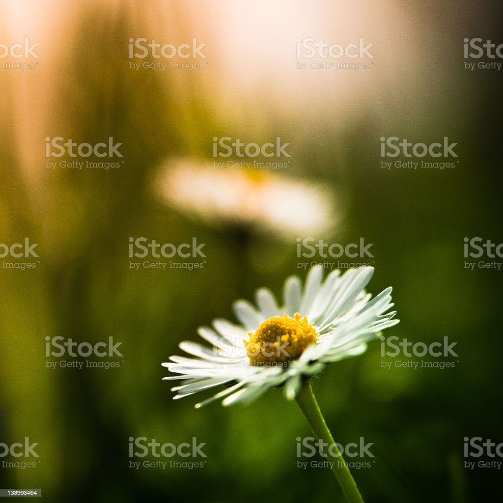 White daisy in the grass royalty-free stock photo