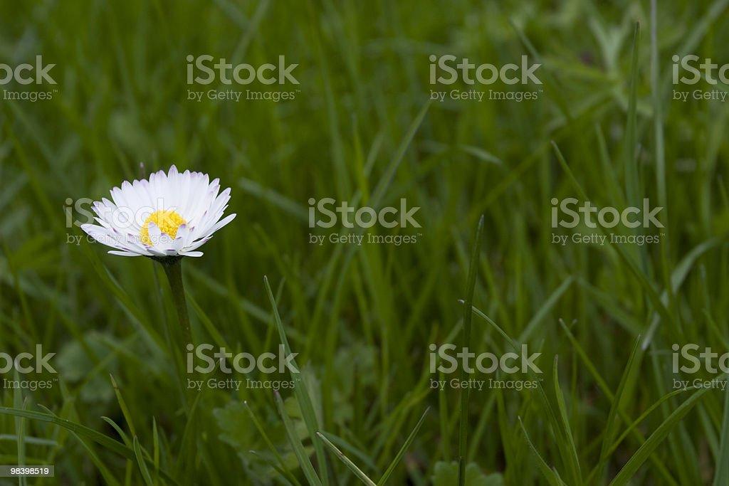 Bianco Daisy In erba foto stock royalty-free