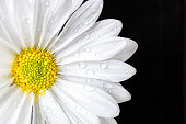 horizontal image of a white daisywith water drops off centre in the image on a black background with copy space on one side great for any kind of greeting card.