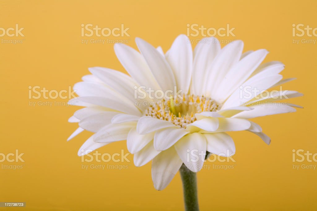 White Daisy on a Yellow Backdrop royalty-free stock photo