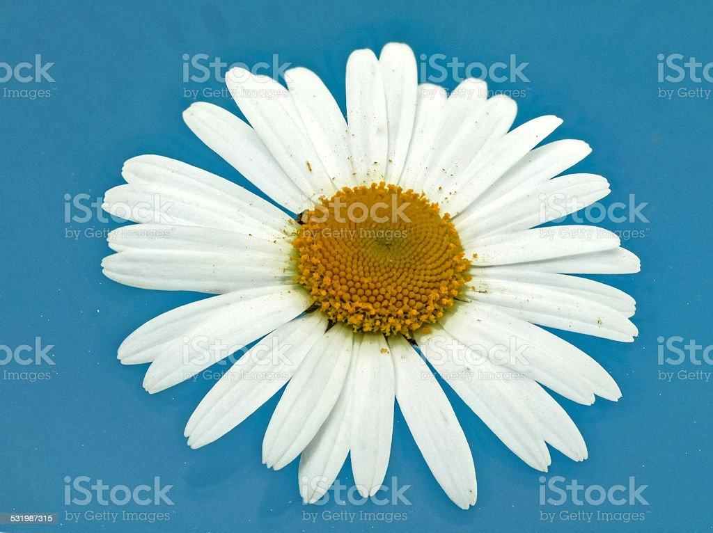 white daisy on blue stock photo