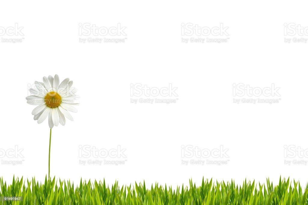 White daisy on lawn XXL royalty-free stock photo