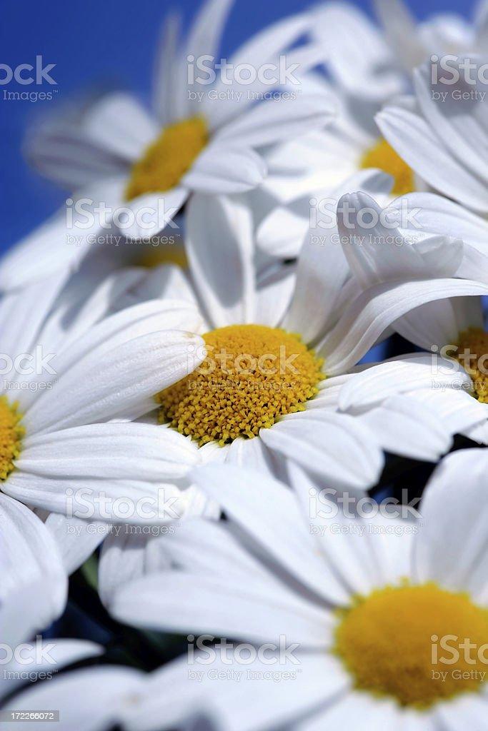 Weiße Gänseblümchen – Foto