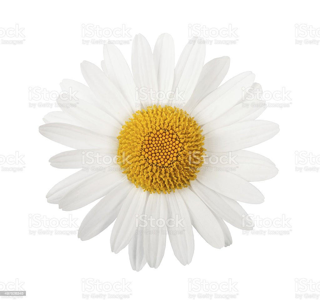White daisy stock photo