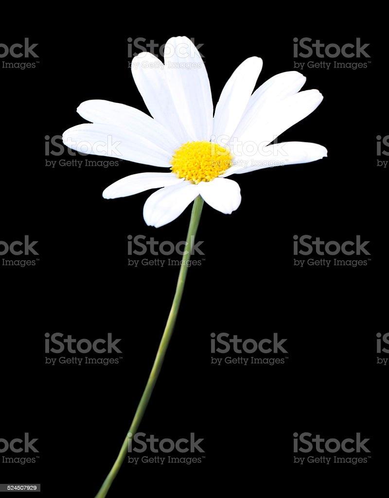 White daisy stock photo
