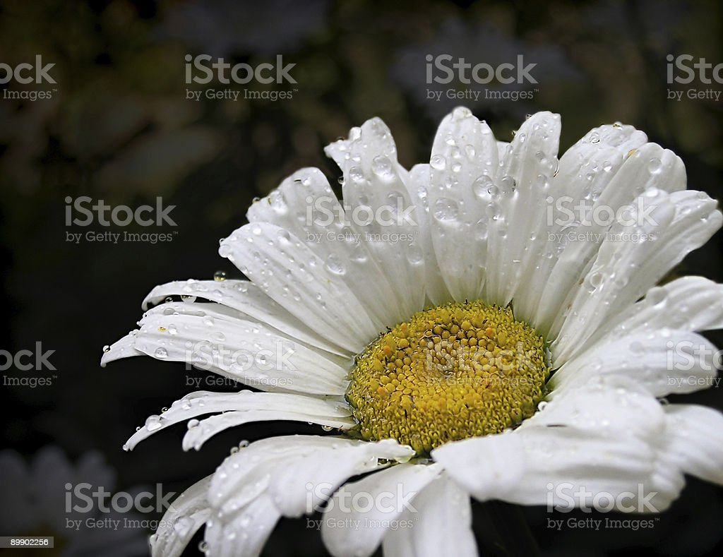 White daisy royalty free stockfoto