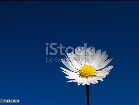 A single white daisy with a clear blue sky background.