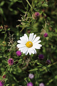 White daisy plant among purple wild flowers.